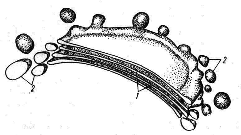 Комбинированная схема строения эукариотической клетки.